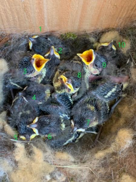 シジュウカラの雛10羽