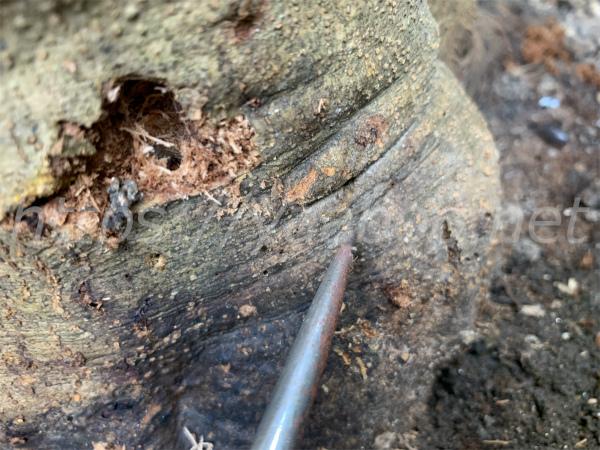 オリーブアナアキゾウムシに侵されたオリーブの根元