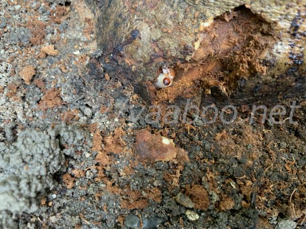 オリーブの幹の中にいるオリーブアナアキゾウムシの幼虫