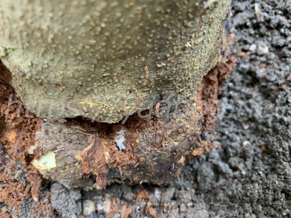 オリーブの幹の中にいるオリーブアナアキゾウムシの蛹