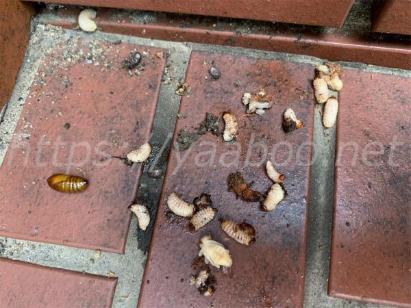 オリーブの幹の中から取り出したオリーブアナアキゾウムシの幼虫と蛹と成虫